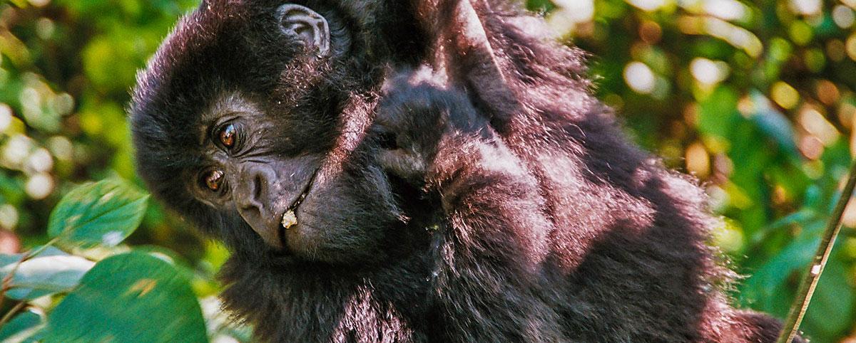 Deník – Východní rovníková Afrika – Horské gorily (2010)